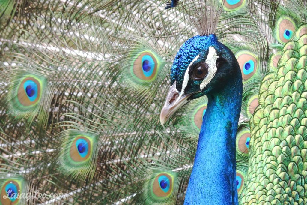 Pavo real mostrando sus preciosas plumas