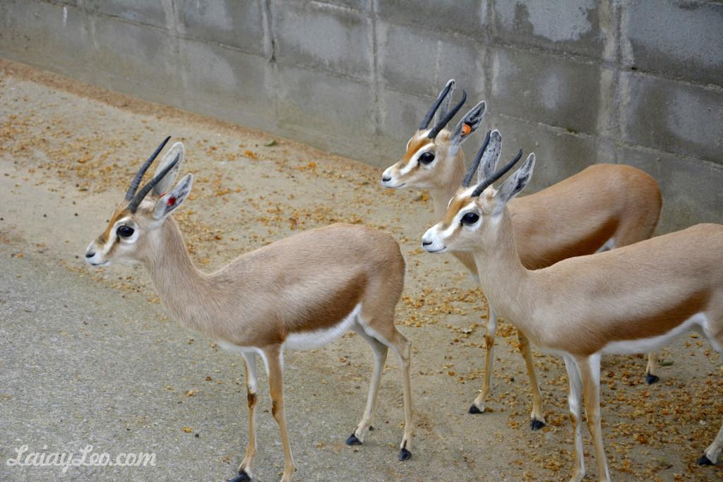 Gacelas doras saharianas (Gazella dorcas neglecta)